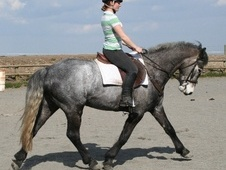 All Rounder horse - 5 yrs 14.2 hh Iron Grey - Shropshire