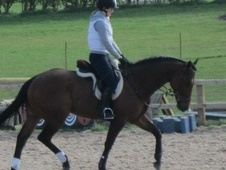All Rounder horse - 7 yrs 16.3 hh Bay - North Yorkshire