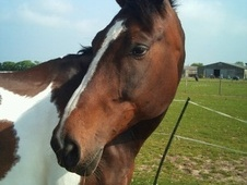 Coloured horse - 13 yrs 17.0 hh Coloured - Kent