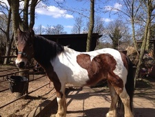 Riding Club Horses/Ponies horse - 10 yrs 13.1 hh Skewbald - Cambr...
