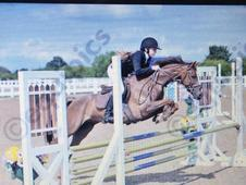 British Showjumper For Sale