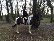 Lovely moving coloured gelding