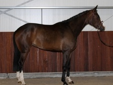 Performance Horses horse - 5 yrs 16.1 hh Bay - South Yorkshire