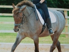 Dressage horse - 9 yrs 8 mths 15.2 hh Strawberry Roan - Cheshire