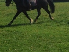 All Rounder horse - 4 yrs 14.2 hh Bay - West Midlands
