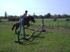 Pony Club Ponies horse - 18 yrs 6 mths 13.1 hh Bay - Northamptons...