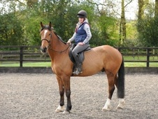 All Rounder horse - 5 yrs 16.2 hh Bay - East Sussex