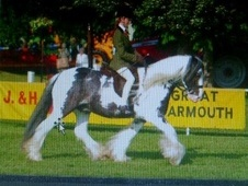 Coloured horse - 12 yrs 3 mths 14.2 hh Piebald - Suffolk