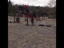 Show Jumpers horse - 6 yrs 16.1 hh Bay - Essex