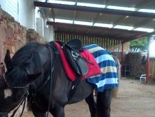 Eventers horse - 12 yrs 11 mths 15.3 hh Dark Bay - East Lothian