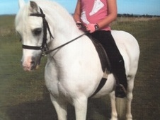 Bobby, 11. 2h, Welsh Section A, 16 Years, Gelding - Essex