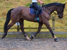 £3500 - Handsome Warmblood Gelding By Renkum Valentino