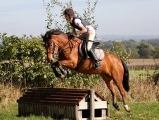 All Rounder horse - 8 yrs 2 mths 14.0 hh Bay - West Midlands