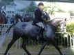 Showing horse - 7 yrs 15.2 hh Dapple Grey - Lancashire