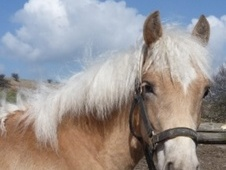 Young Stock  horse - 1 yr 14.1 hh Chestnut - Derbyshire