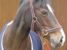 All Rounder horse - 15 yrs 13.2 hh Bay - Berkshire