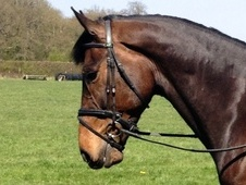 Showing horse - 6 yrs 16.3 hh Bay - Kent