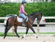 All Rounder Horse - 16. 0 Hh Bay - West Yorkshire