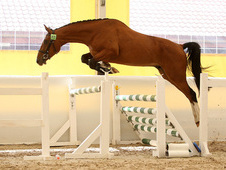 promising showjumping project/top class bloodlines! !