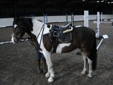 Rebel - 13. 2hh coloured gelding