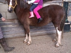 Lead Rein & First Ridden horse - 6 yrs 11.2 hh Liver Chestnut - E...