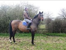 All Rounder horse - 10 yrs 16.1 hh Bay - Kent