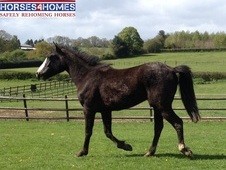 Guiness, 15h, Welsh Cross, 2 Years, Gelding - Worcestershire