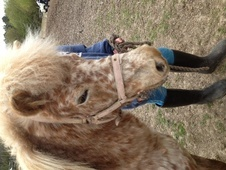 Lead Rein & First Ridden horse - 7 yrs 9.0 hh Appaloosa - West Su...