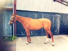 All Rounder horse - 4 yrs 1 mth 15.3 hh Chestnut - Cheshire