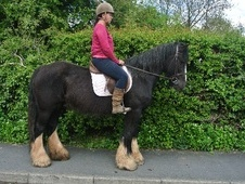 All Rounder horse - 15 yrs 15.0 hh Black - West Midlands