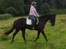 Performance Horses horse - 4 yrs 4 mths 16.0 hh Dark Bay - Somerset