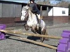 All Rounder horse - 4 yrs 12.1 hh  - West Sussex
