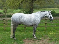 All Rounder horse - 7 yrs 15.2 hh Dapple Grey - West Midlands