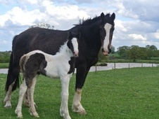 All Rounder horse - 5 yrs 16.2 hh Bay - West Midlands