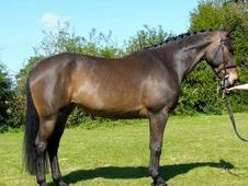 All Rounder Horse - 6 Yrs 15. 3 Hh - Kent