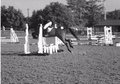 All Rounder horse - 8 yrs 9 mths 15.1 hh Bay - Staffordshire