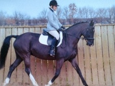 All Rounder horse - 6 yrs 15.2 hh Black - Cleveland