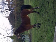Cobs horse - 5 yrs 14.1 hh Bay - West Midlands