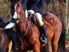 Cob X Quarter Horse 15. 0h Mare, 7 Year Old, Ideal Hunter/riding ...