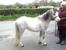 Mountain & Moorland horse - 3 yrs 1 mth 11.0 hh Grey - Staffordshire
