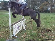 All Rounder horse - 6 yrs 14.2 hh Grey - Shropshire