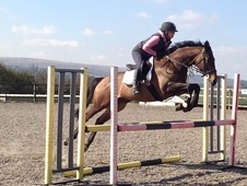 All Rounder horse - 9 yrs 16.0 hh Bay - Avon