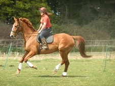 School Masters horse - 12 yrs 1 mth 16.2 hh Chestnut - Norfolk