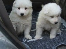 Two Male And Female Samoyed Puppies For Xmass