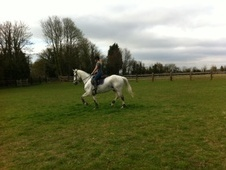 All Rounder horse - 17 yrs 4 mths 16.2 hh Grey - Hertfordshire