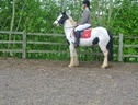 All Rounder horse - 5 yrs 14.2 hh Coloured - West Midlands