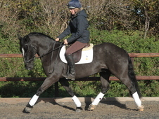 Super Smart Dressage/showing Prospect