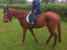 Stunning 13. 1hh British riding pony mare