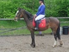 All Rounder horse - 4 yrs 3 mths 15.0 hh Bay - West Midlands