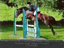 Show Jumpers horse - 12 yrs 11 mths 13.3 hh Dark Brown - Hampshire